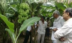 બારડોલી : કેળાં પકવતા ખેડૂતોની હાલત કપરી, ત્રણ રૂપિયા પ્રતિ કિલોનો ભાવ : રાહત પેકેજની માગ કરાય