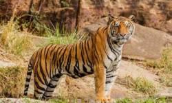 International Tiger Day 2020 : વિશ્વ વાઘ દિવસ પર જાણો કેટલાક રસપ્રદ તથ્યો…