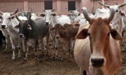 ગુજરાતમાં નાની ગૌશાળા ચલાવી 'ગૌસેવા' કરનારાઓને સરકાર મદદ કેમ નથી કરતી?