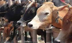 હવે ગાયના ગોબરથી ચીનને 'મરણતોલ ફટકો' મારવાની તૈયારી, જાણો જબરદસ્ત પ્લાનિંગ