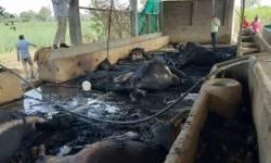 ભરૂચના કંબોડીયા ગામમાં તબેલામાં આગ લાગતા નાસભાગ મચી, 16 ગાય-વાછરડા અને 1 ઘોડીનું મોત