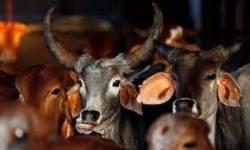 ચલથાણ હાઇવે પરથી 18 ગાય ભરેલી ટ્રક સાથે ચાર ઝડપાયા