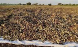 સરકારે મગની ટેકાના ભાવે ખરીદી ન કરતા ખેડૂતોને એક કિલોએ 35 રૂપિયાની ખોટ
